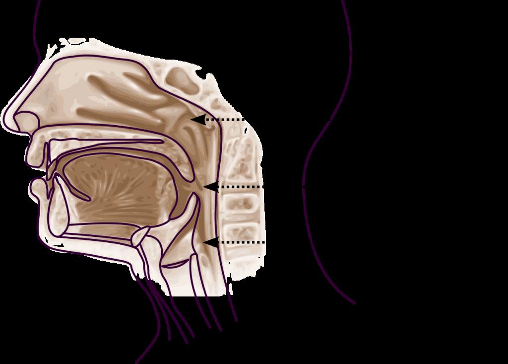 pharynx oropharynx